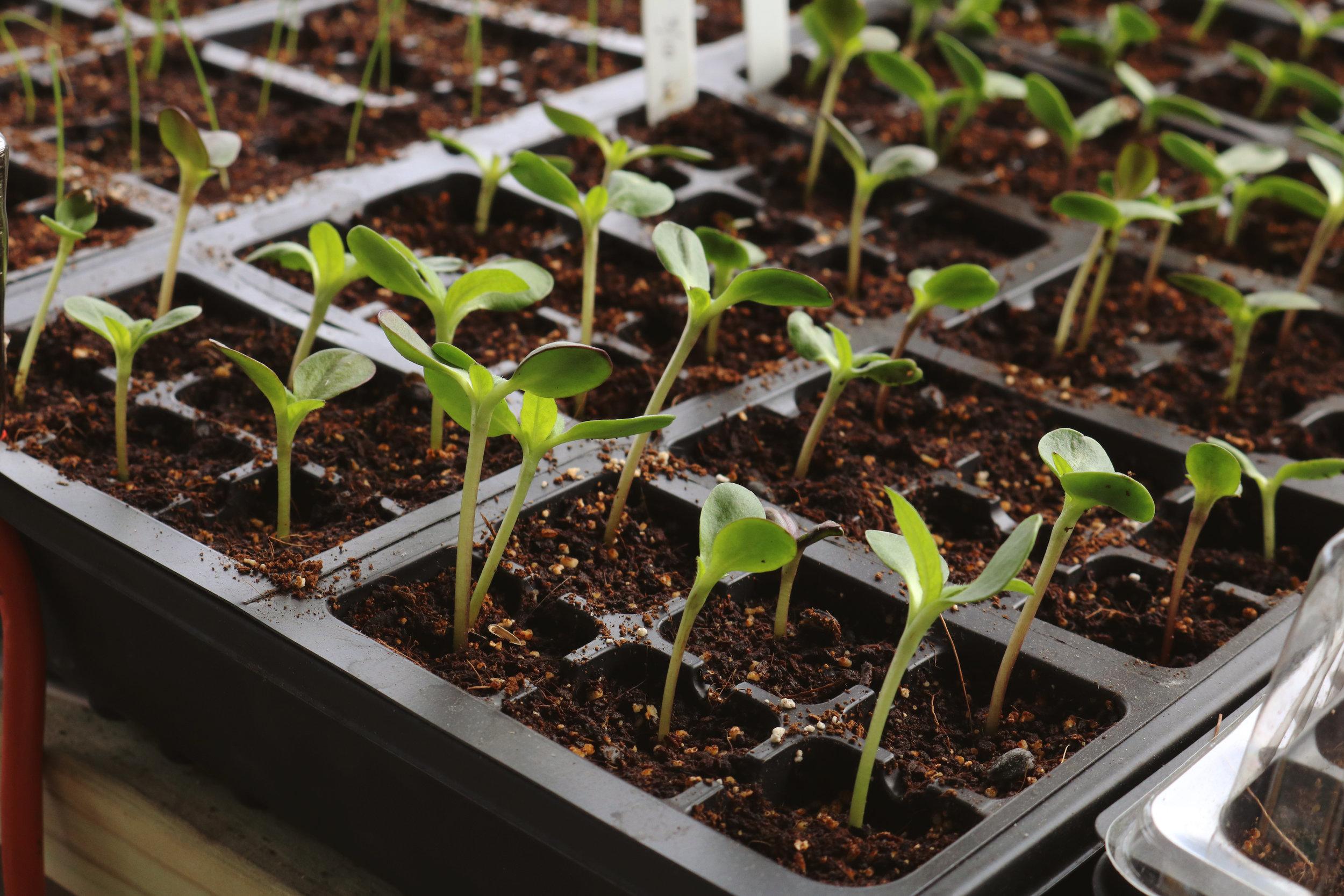 Garden Q + A: Transplants vs. Seeds - Under A Tin Roof Blog