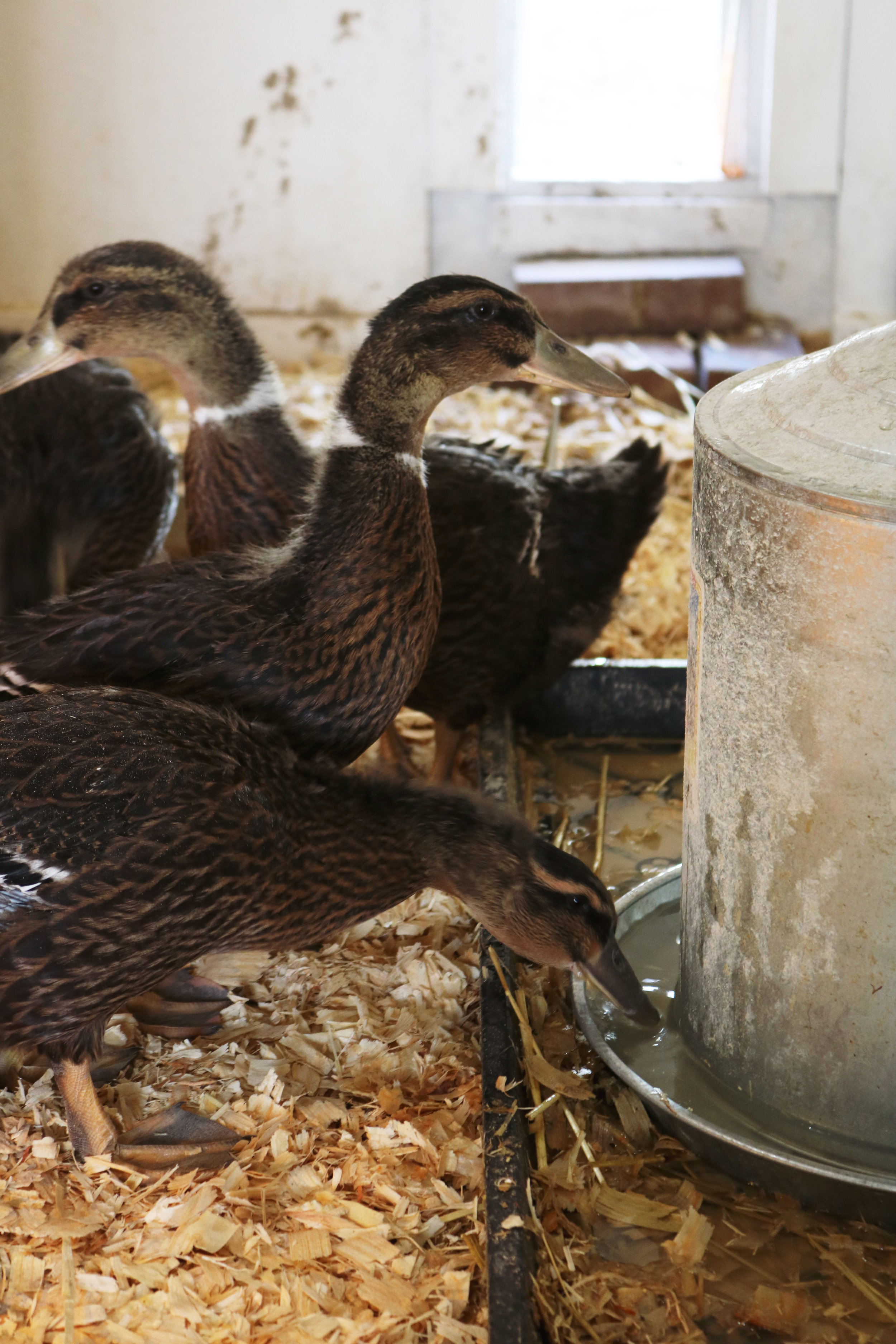 How We Feed Our Ducks - Under A Tin Roof Blog