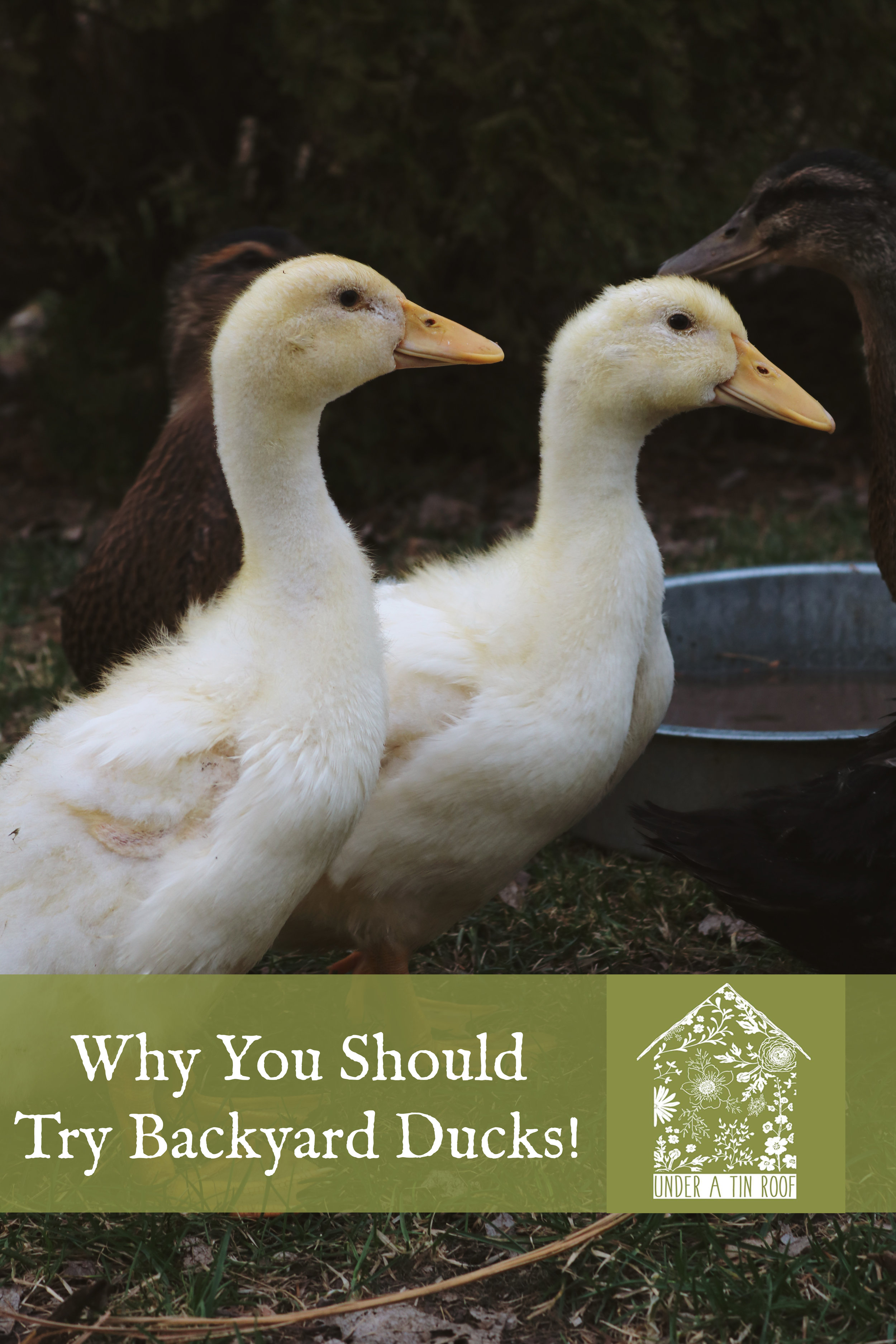 Why You Should Try Backyard Ducks! - Under A Tin Roof Blog