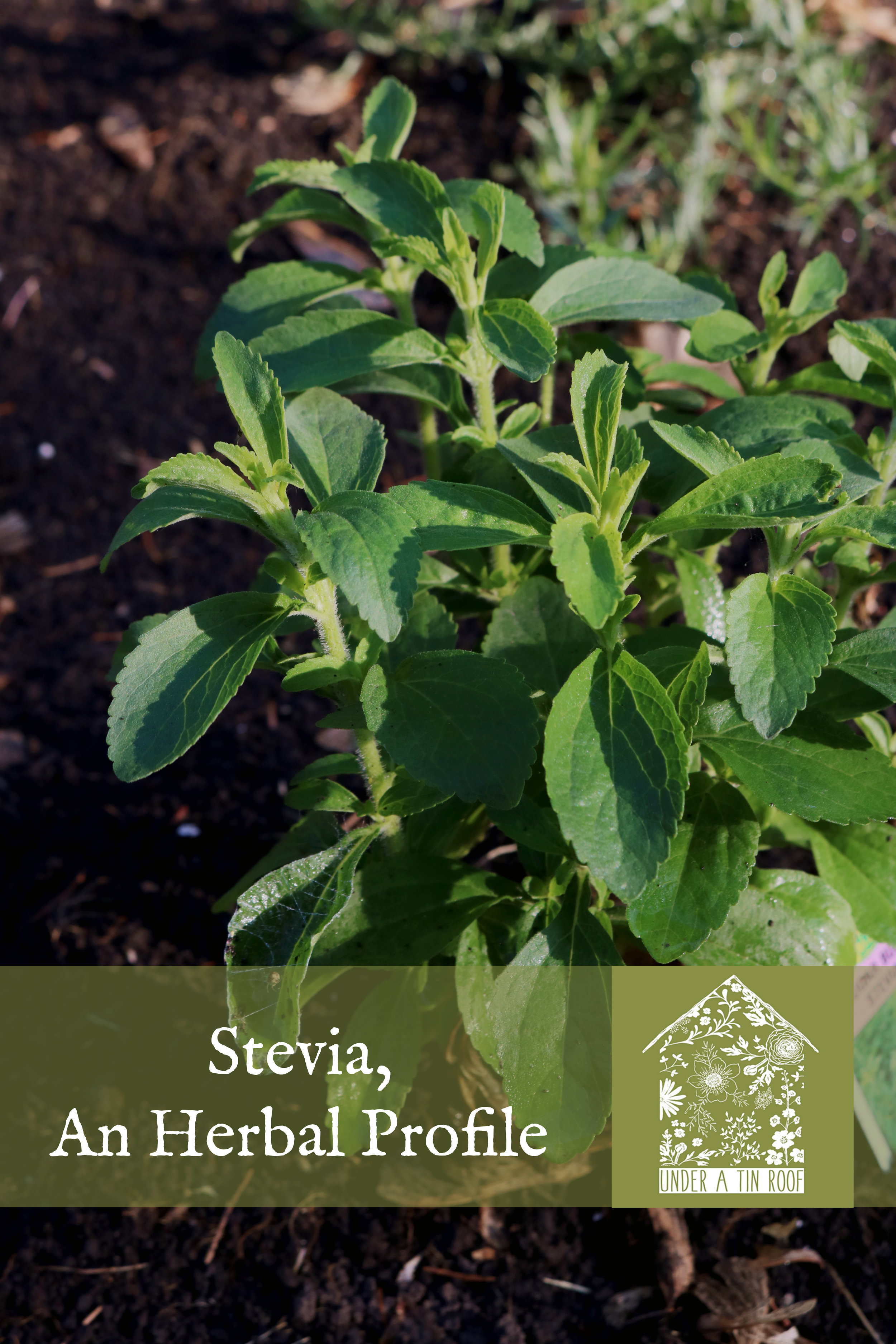 Stevia, An Herbal Profile - Under A Tin Roof Blog
