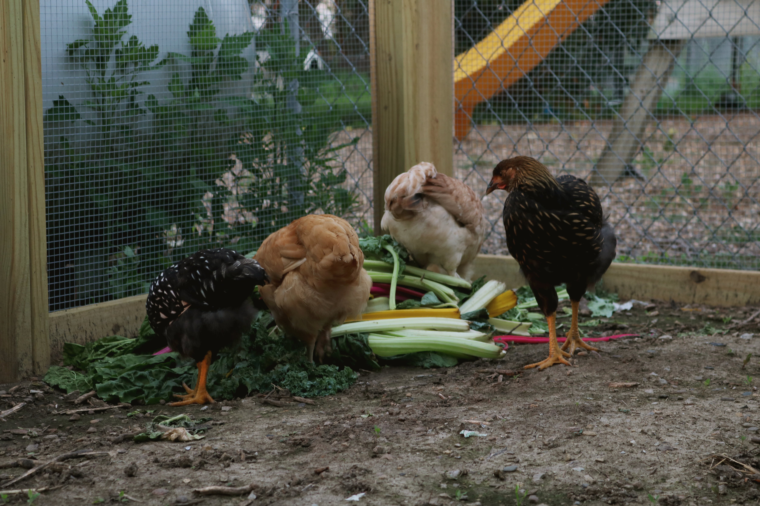 What NOT to Feed Chickens and Ducks! - Under A Tin Roof Blog