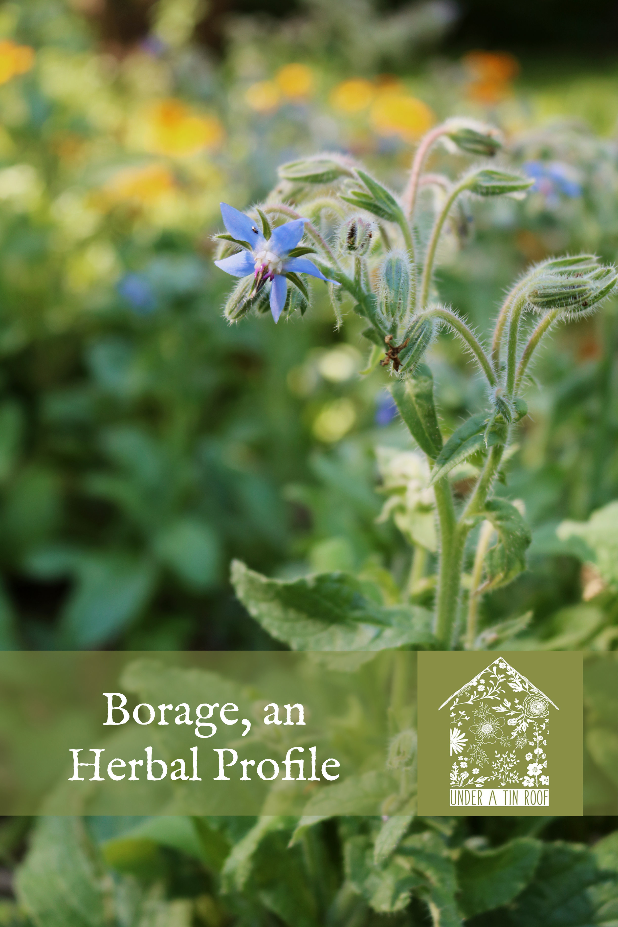 Borage, an Herbal Profile - Under A Tin Roof Blog