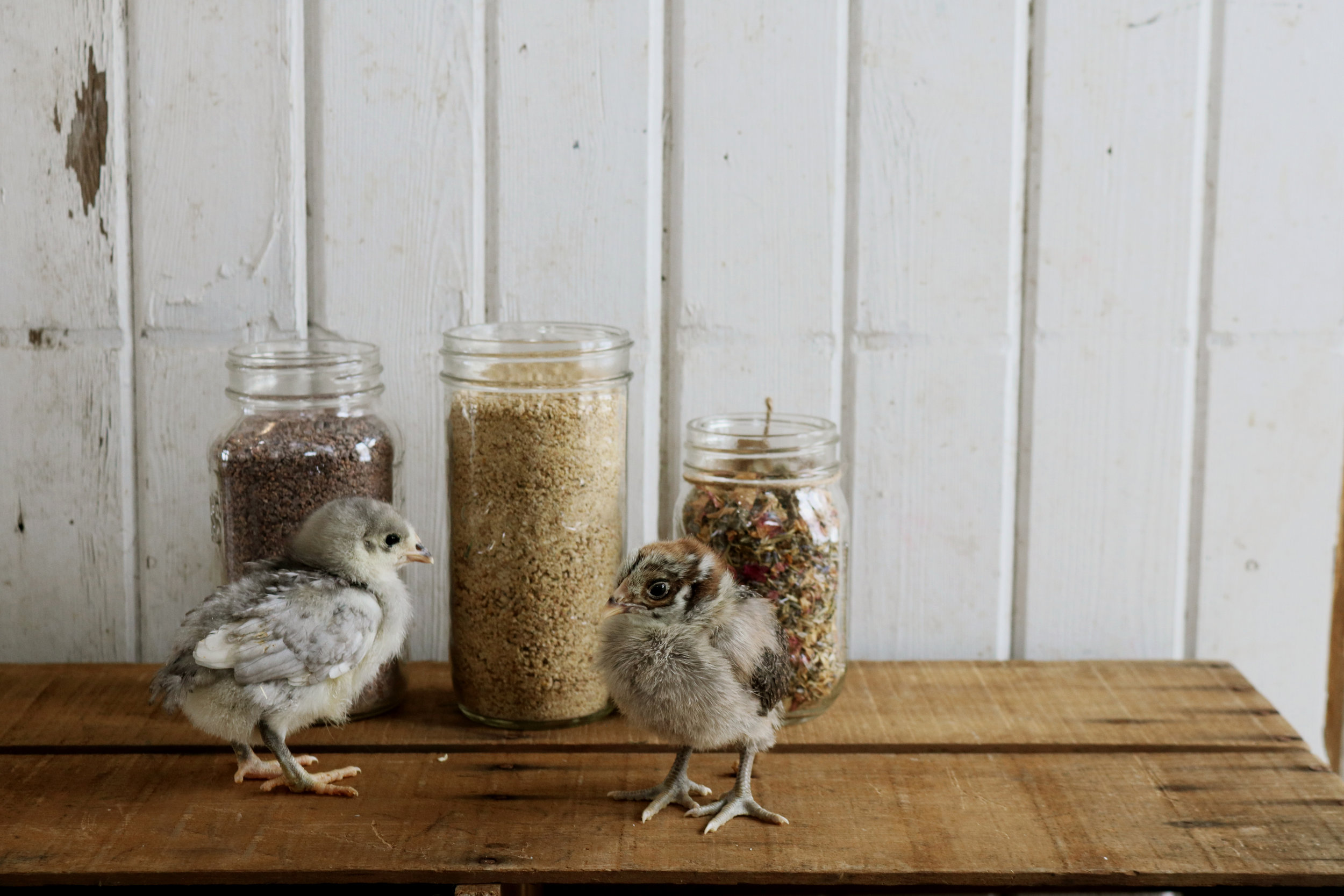 What to Feed Chicks - Under A Tin Roof Blog