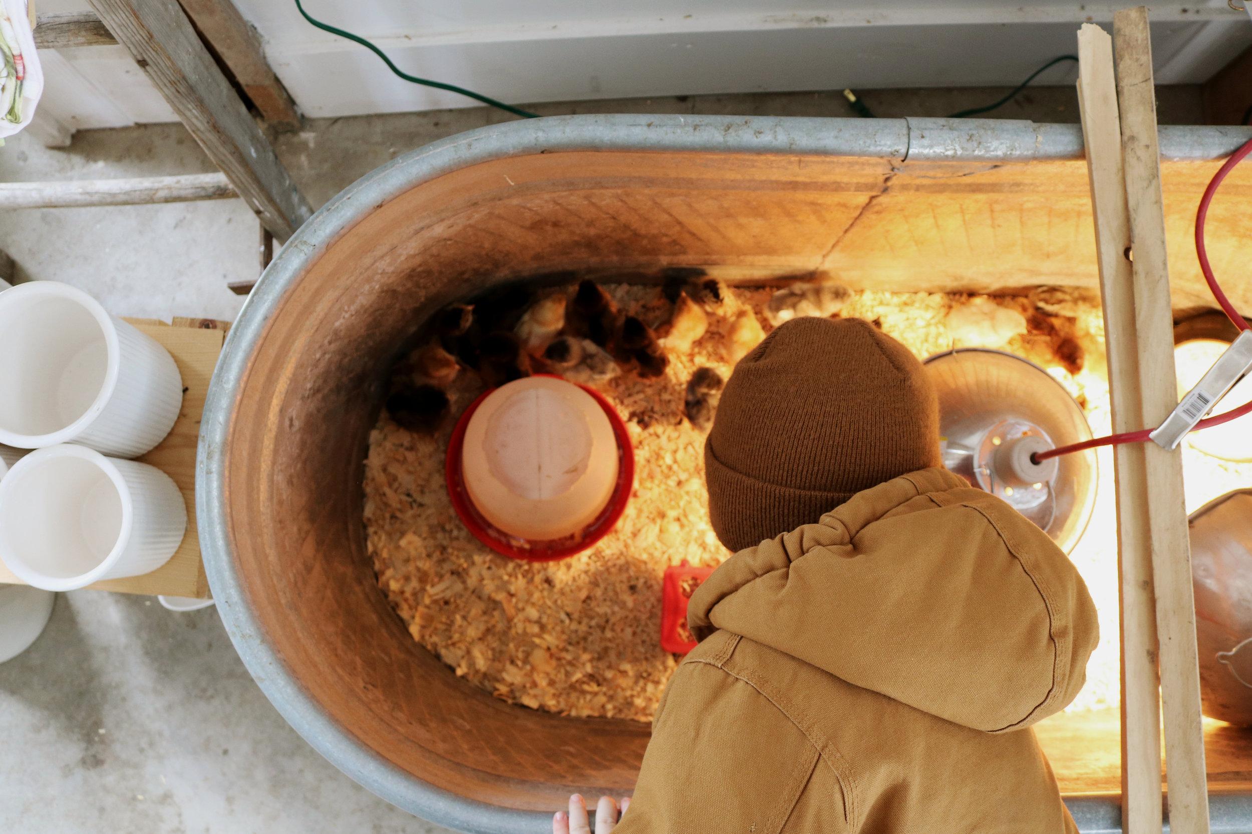 DIY Chicken Brooder Ideas - Under A Tin Roof Blog
