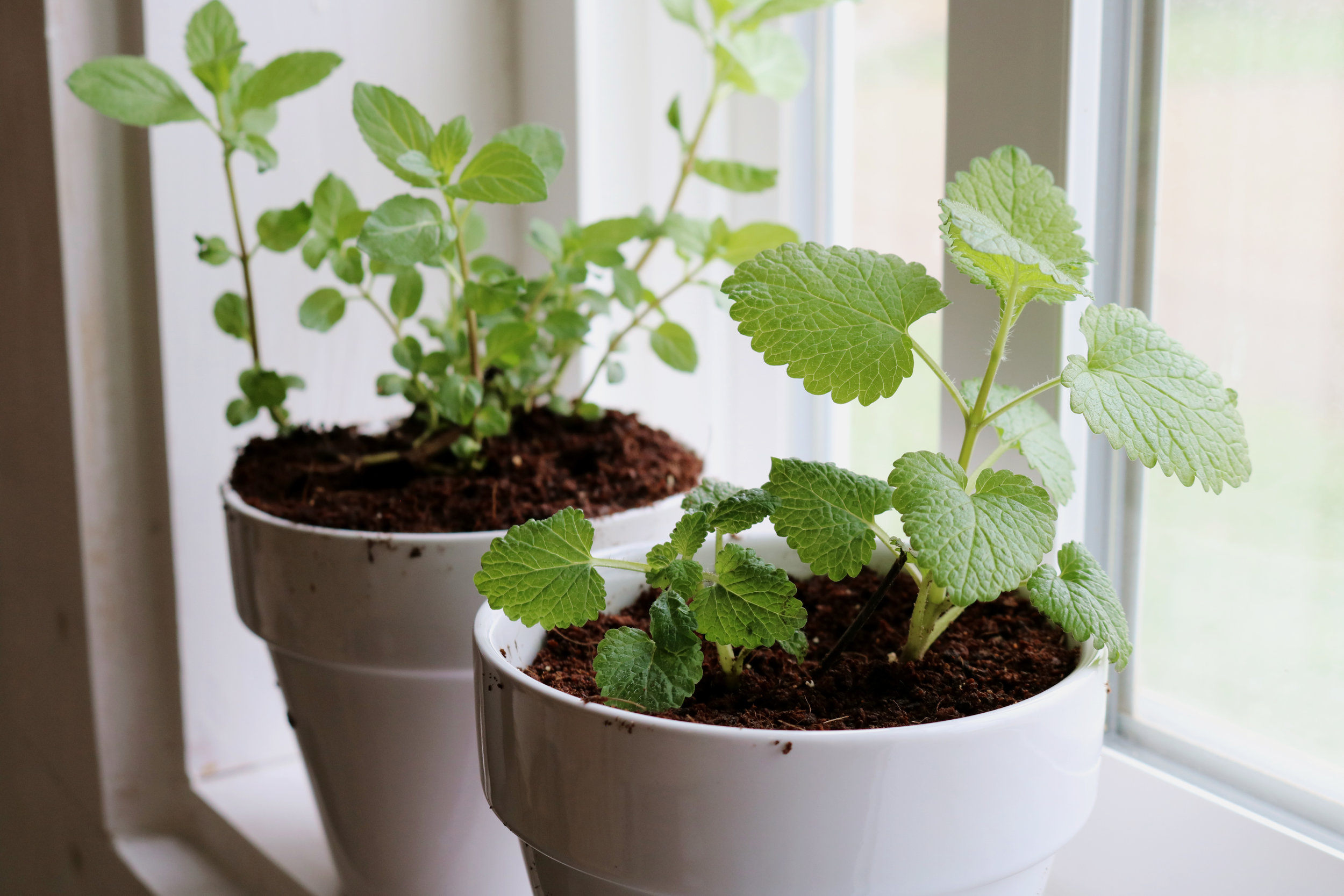 Transplanting Mint and Lemon Balm from the Garden - Under A Tin Roof Blog