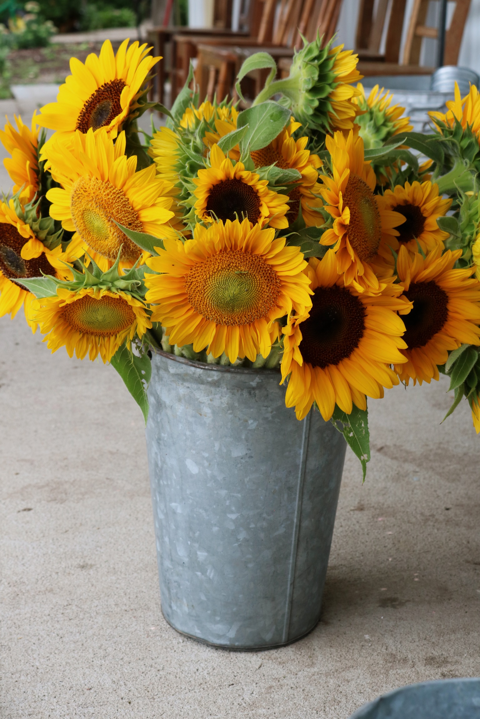 Our Favorite Sunflower Varieties - Under A Tin Roof Blog