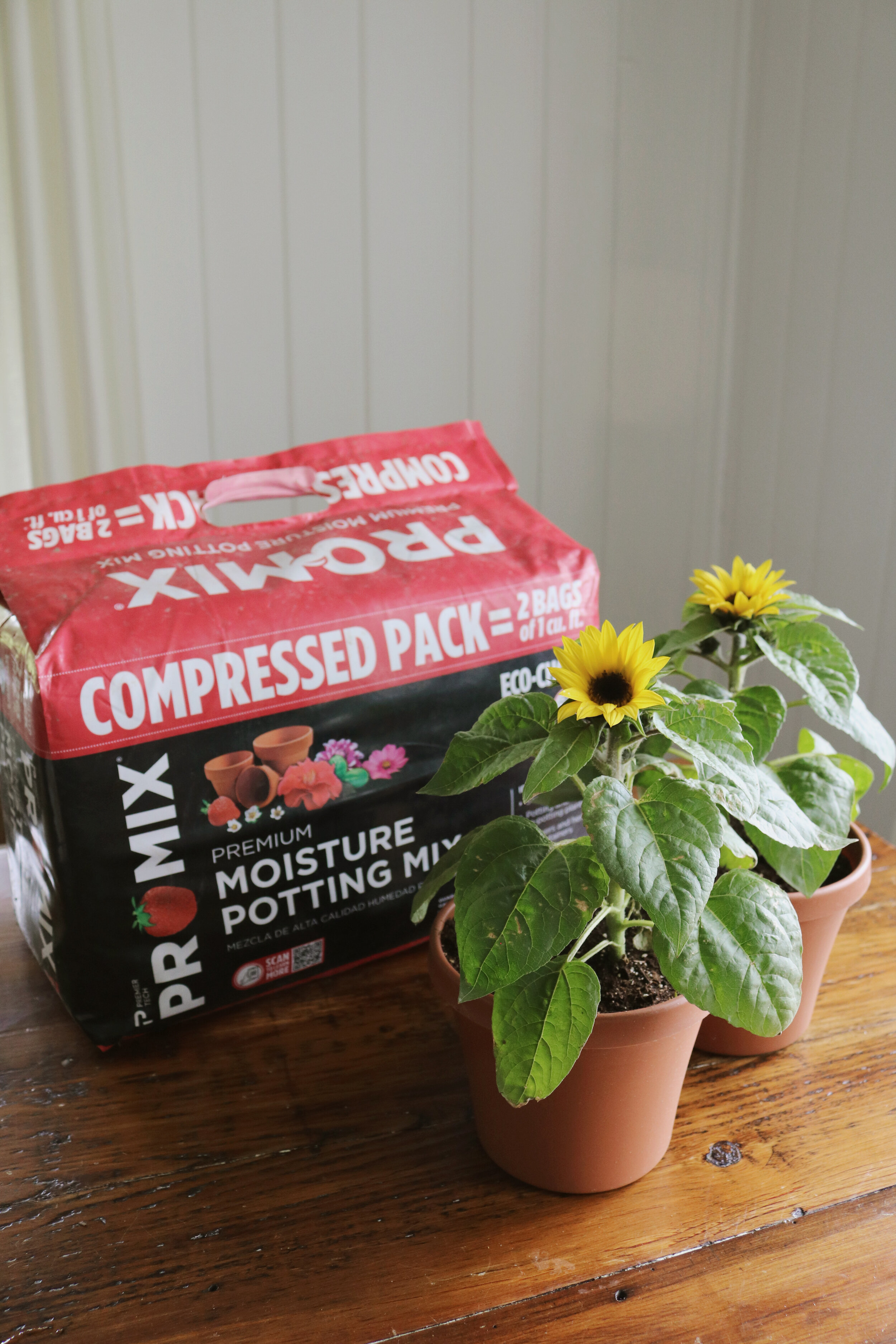 Growing Dwarf Sunflowers In Pots With Pro Mix Under A Tin Roof