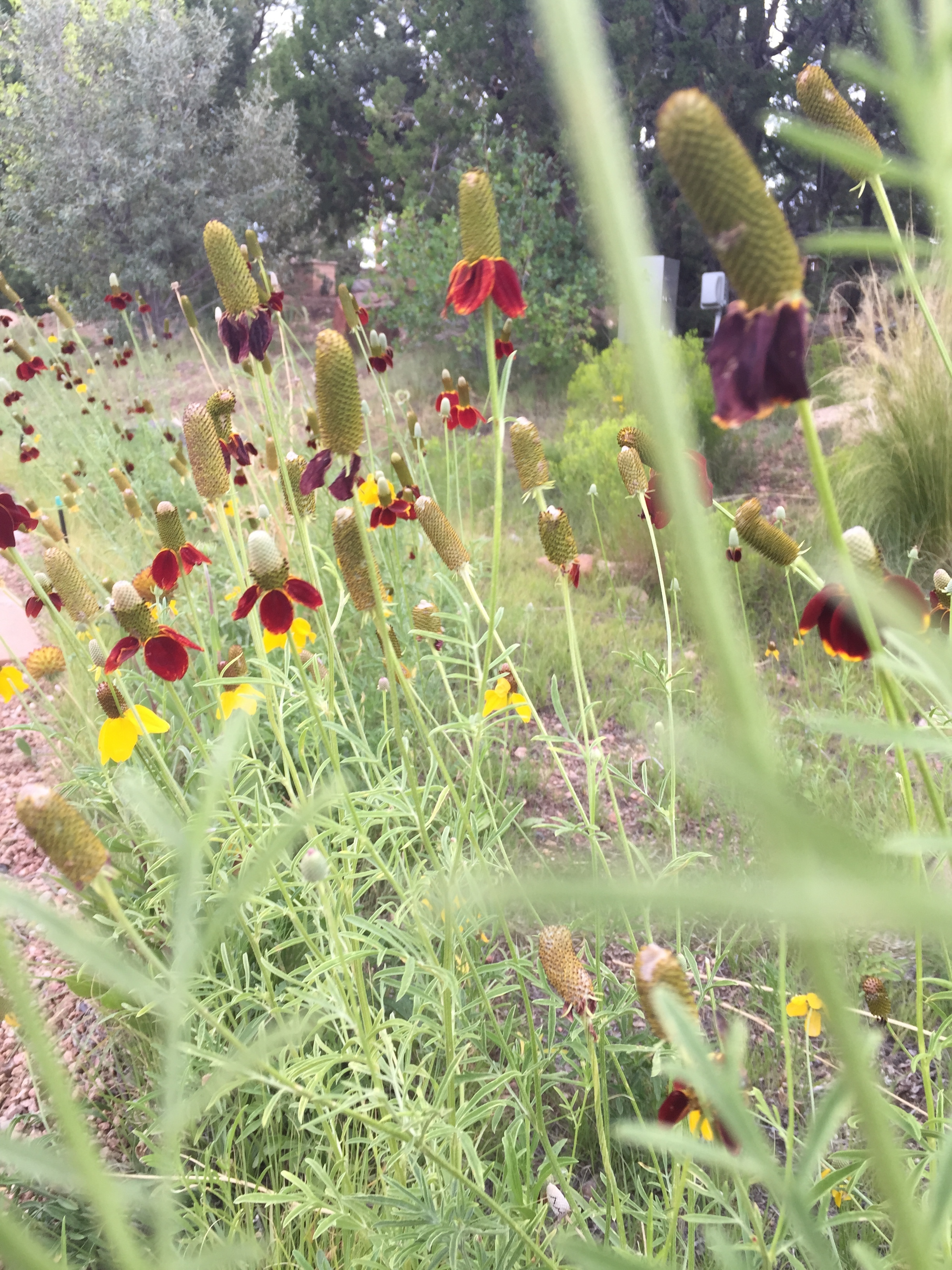 an unusually wet New Mexico summer nourishes desert wild flowers