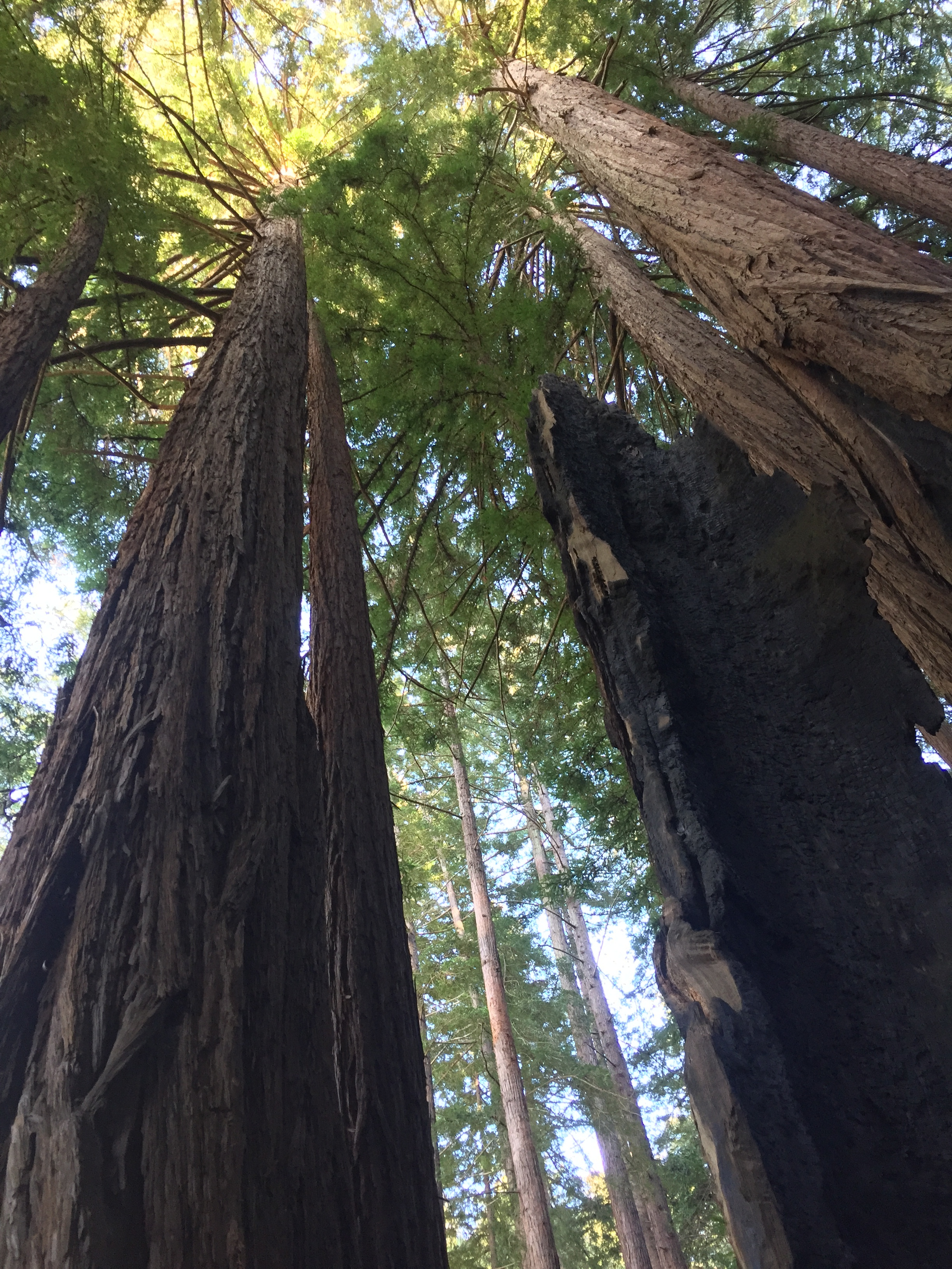 Copy of Redwood Trees