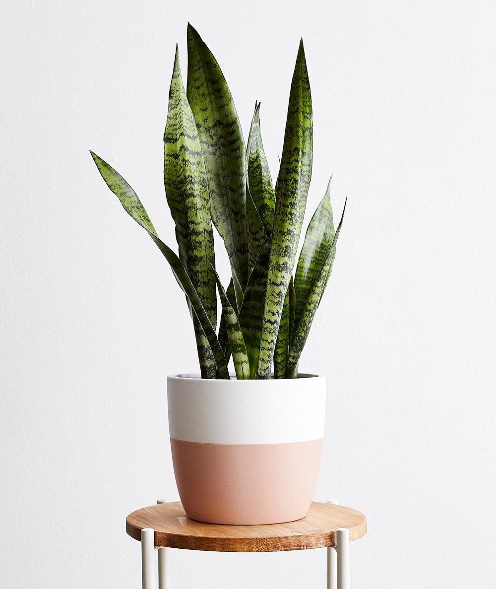 Snake Plant, Sanseveria - $82