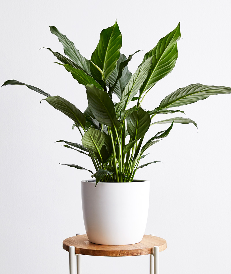 Peace Lily, Spathiphyllum - $82