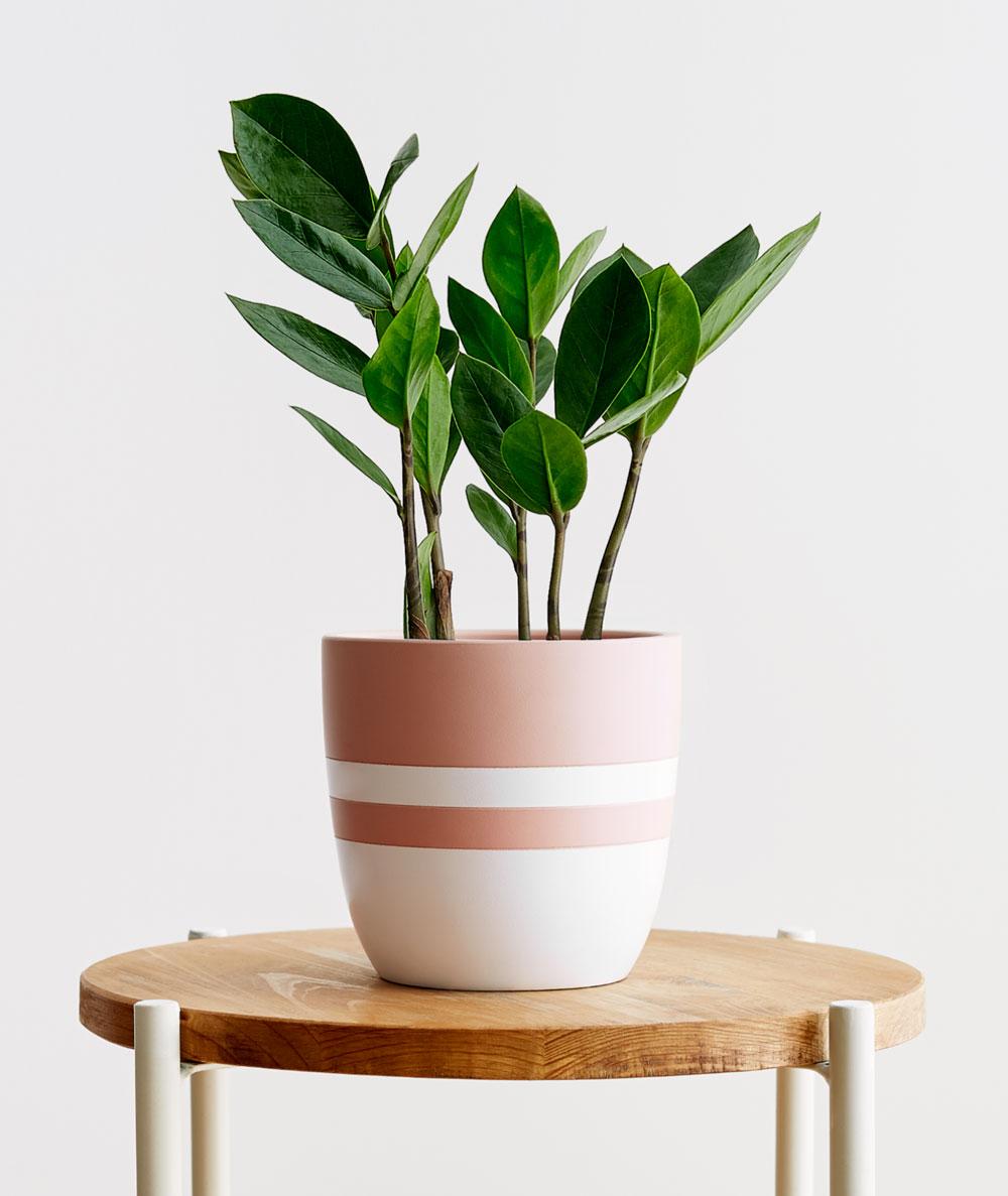 ZZ Plant, Zamioculcas zamiifolia - $42