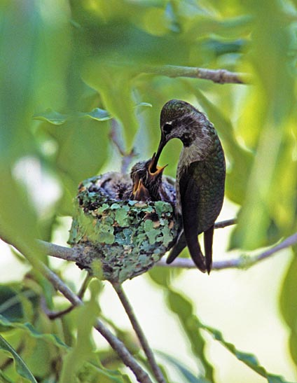 annas_hummingbird_nest_2.jpg
