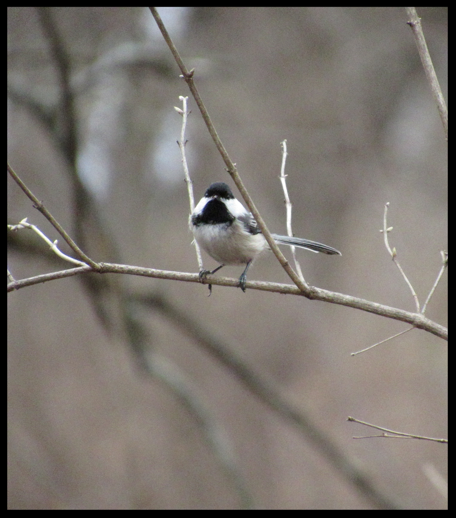 Black-capped chickadee, Burnidge Forest Preserce, Elgin, IL.