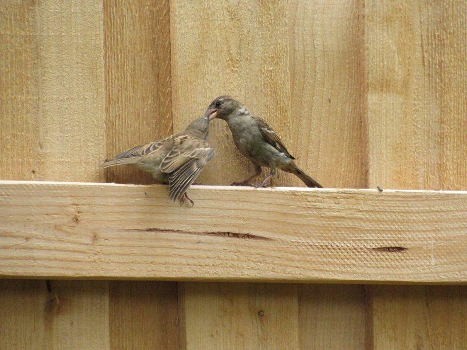 House Sparrows.jpg