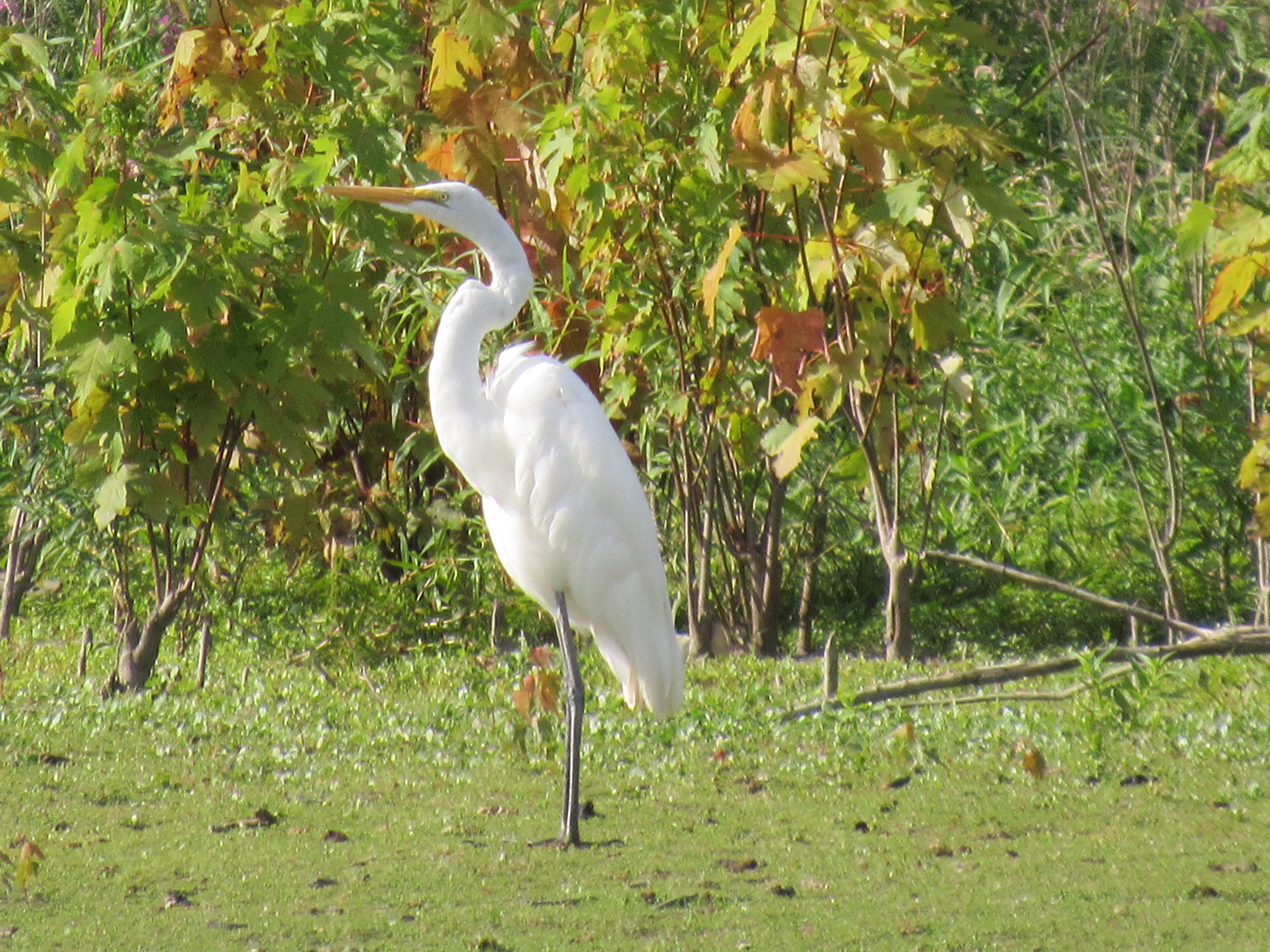 Great Egret,  Chain O' Lakes State Park,  Fox River.