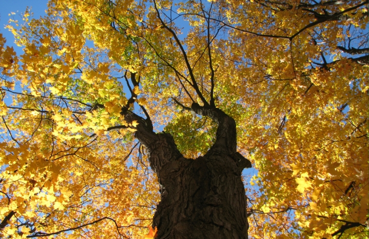 Maple tree photo: Laurel L Russwurm via Flickr