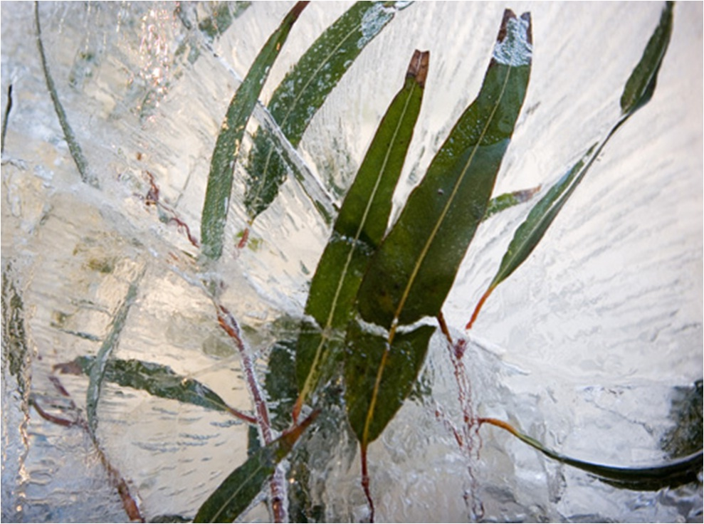 Frozen Gumleaves for Connecting Identities launch by Donna Jackson
