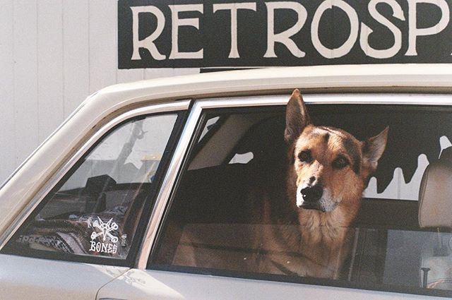 Happy Sunday everyone! #35mm #germanshepherd  #mynameisbones #volvo140