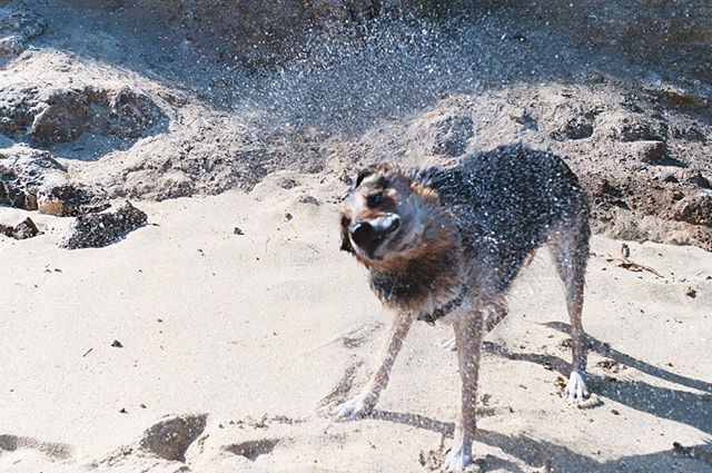 Shake off those raining days and go get sandy! #35mm #germanshepherd #mynameisbones
