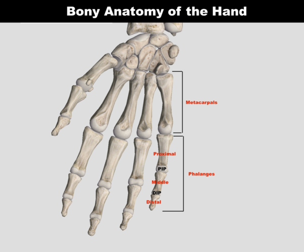 Bony-Anatomy-of-the-Hand-1-600x498.png