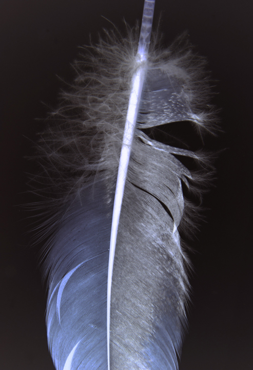 FEATHERS (003A) 2013