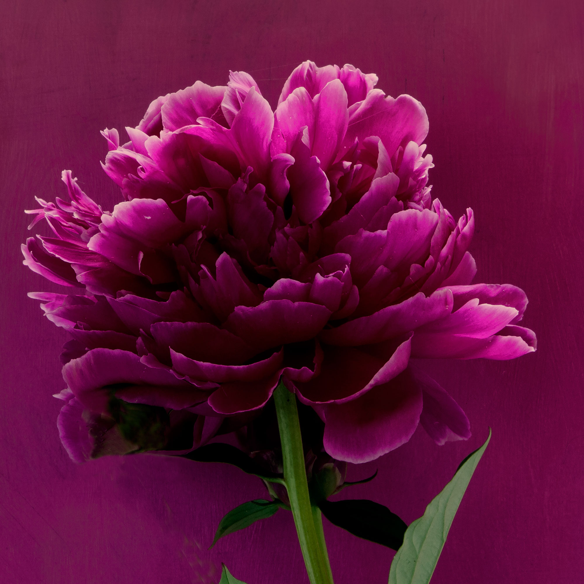 PEONIES 11a 2016