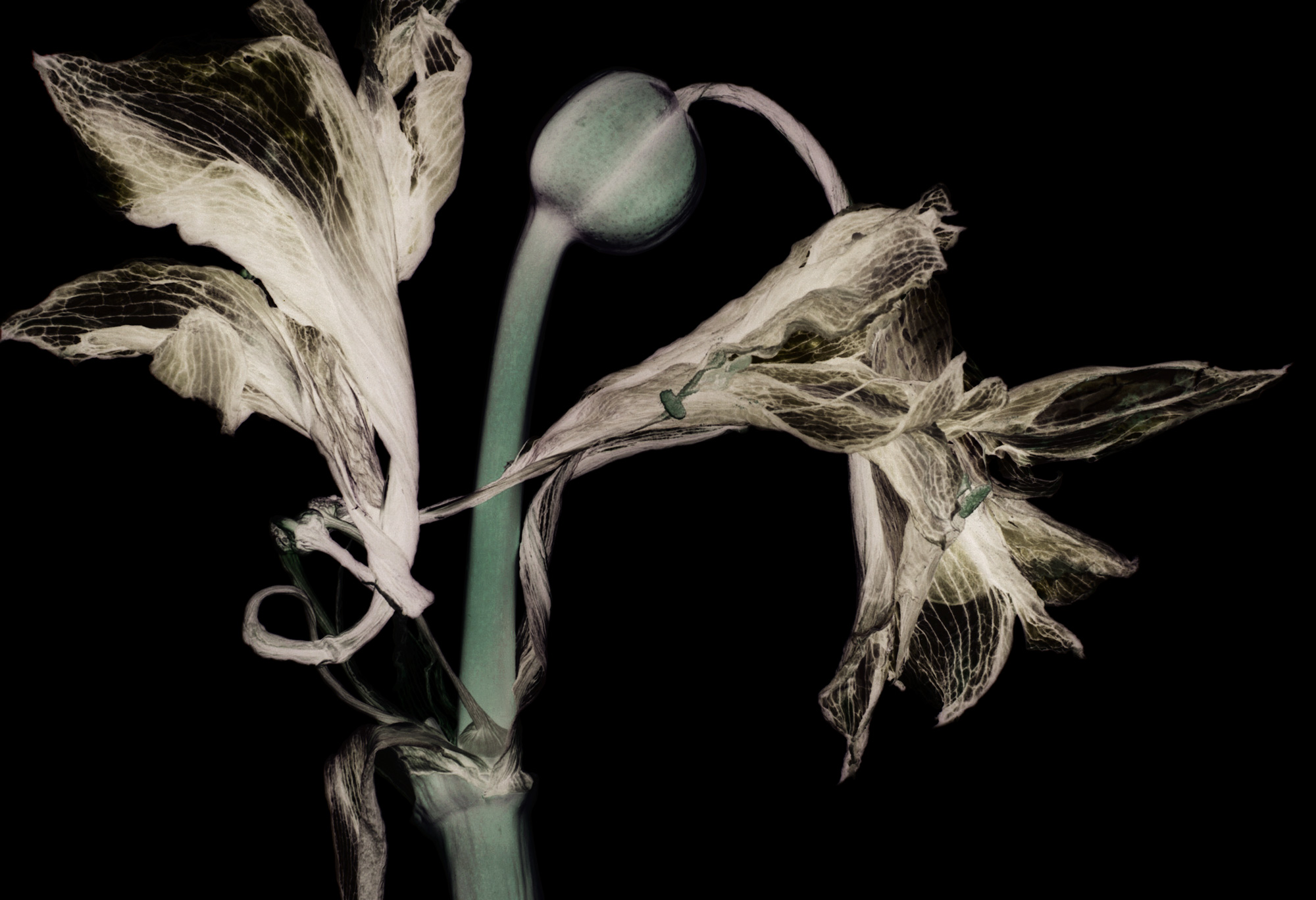 Flower Died Amaryllis 1 inv., 2016