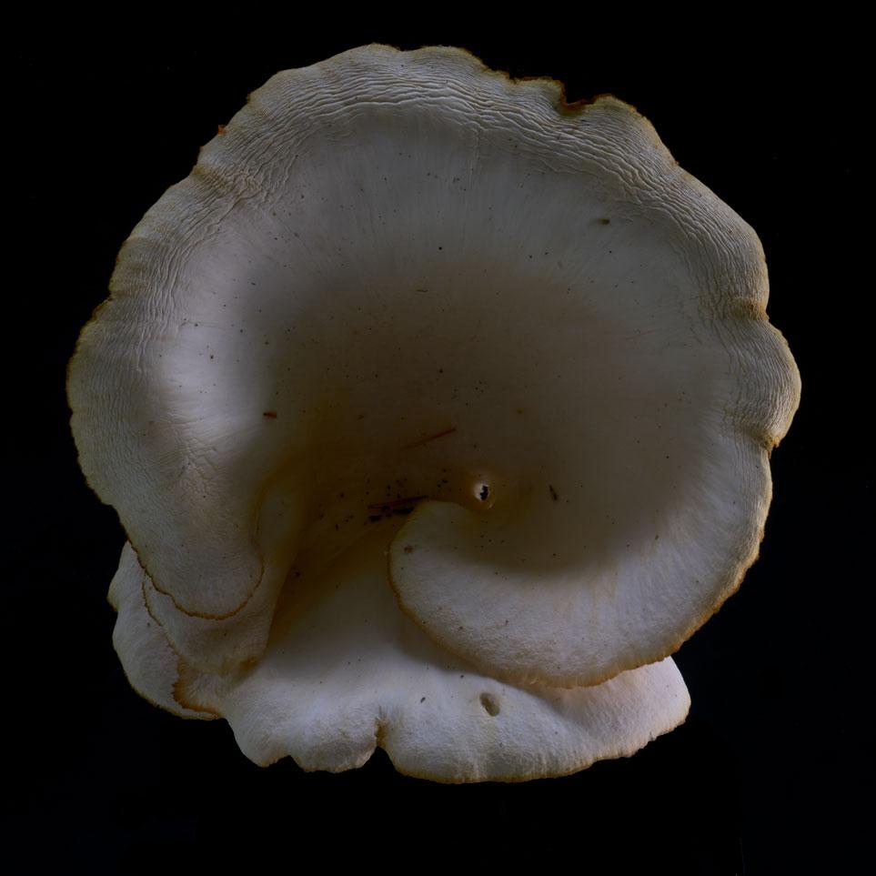 MUSHROOM ( oyster) 3AB ) Oct.2018