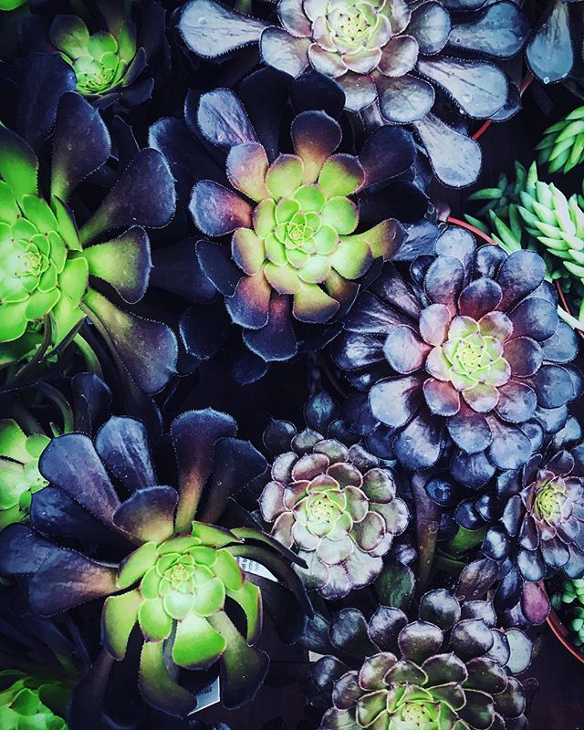 #succulents #succulentsofinstagram #aeonium #echeveria #aeoniumarboreum #gardening #othersidema #igersmassachusetts #igers413 #stilllifephotography #stilllife