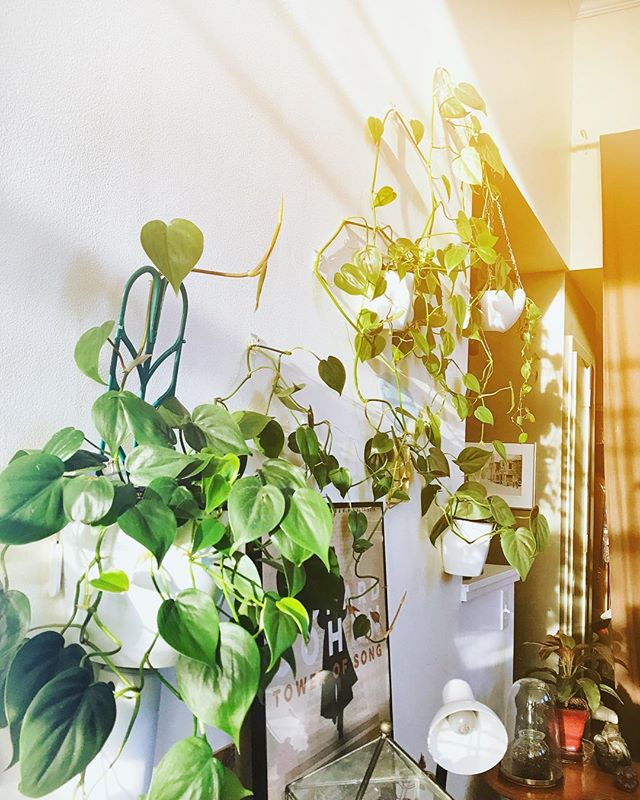 morning light in my treehouse jungle 💚#urbanjungle #houseplants #houseplantsofinstagram #morninglight #gardening #plantsmakepeoplehappy #home #philodendron