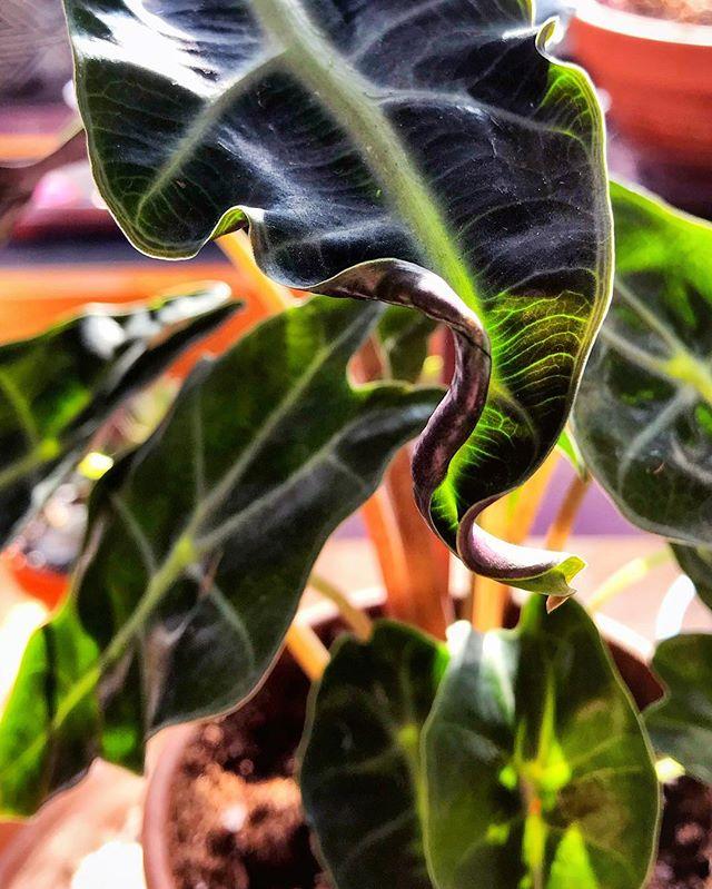 #alocasia #alocasiapolly #houseplants #houseplantsofinstagram #plantsmakepeoplehappy #plantsaddict #urbanjungle #houseplantjournal