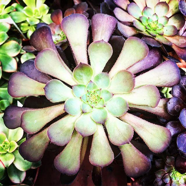 #aeonium #echeveria #aeoniumarboreum #succulents #succulentsofinstagram #gardening #othersidema #igersmassachusetts #igers413 #stilllifephotography #stilllife #houseplants #houseplantsofinstagram