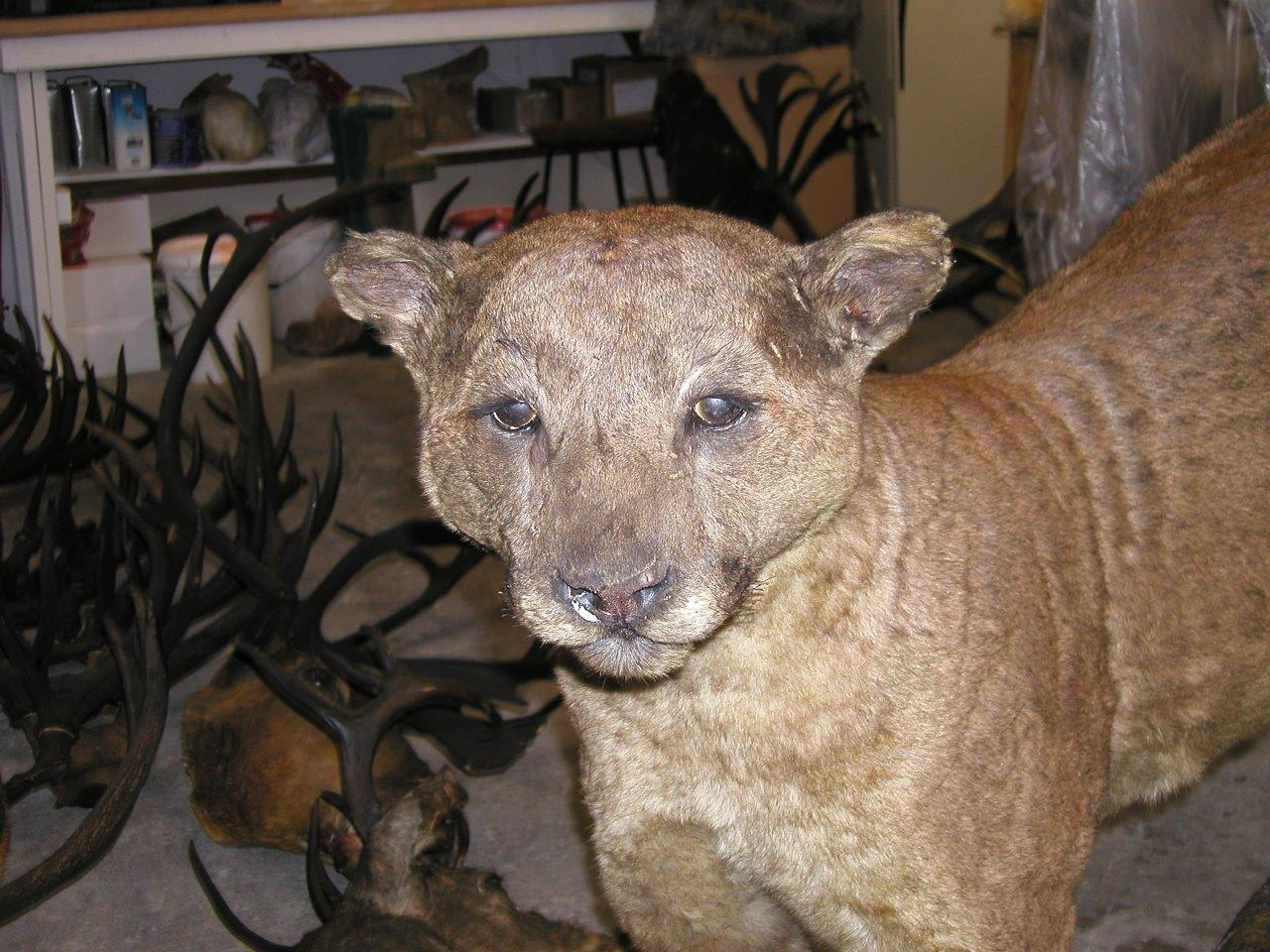 Mountain Lion Burned