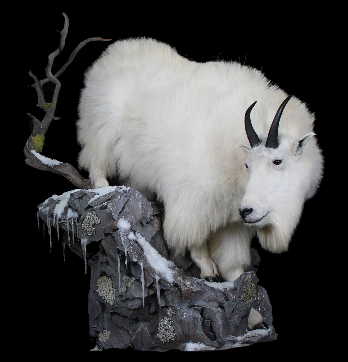 Mountain Goat Taxidermy.png