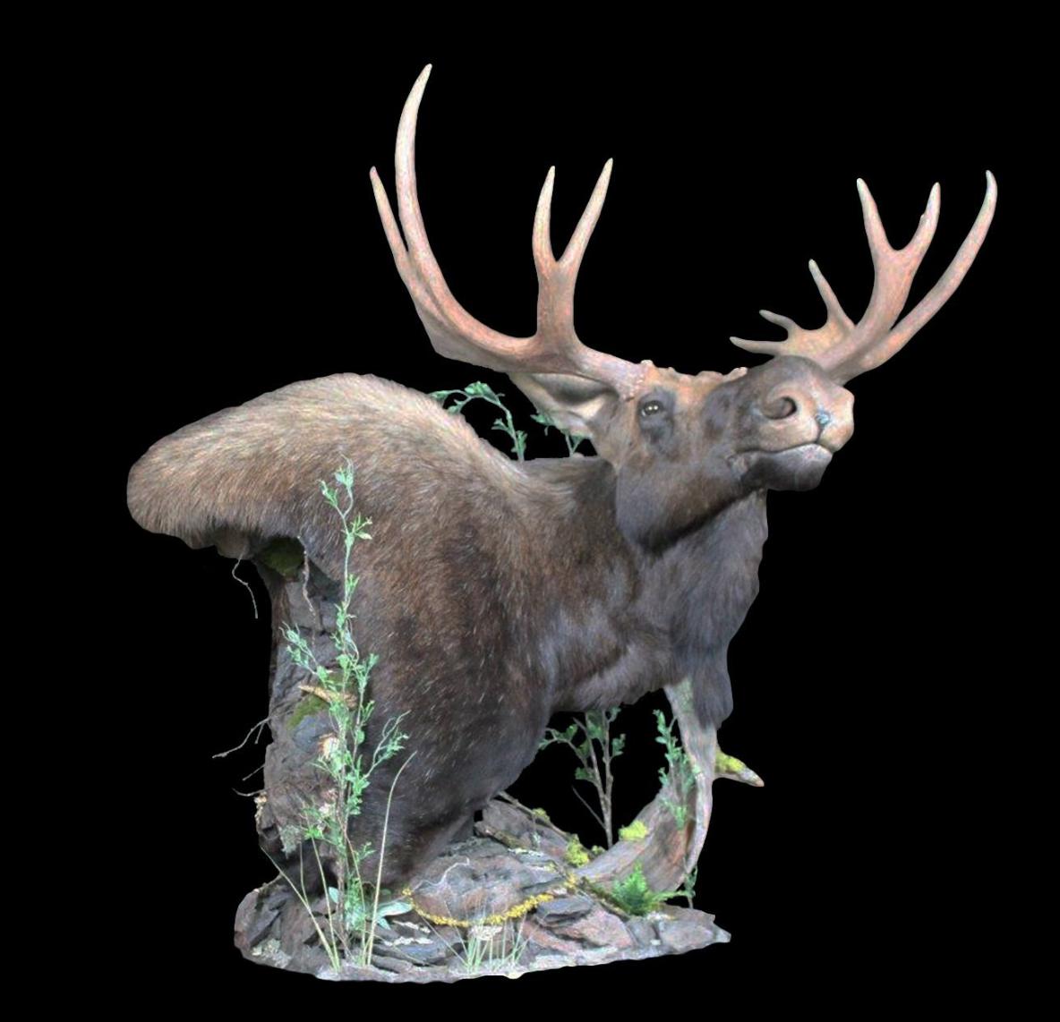 Wildlife Recapture Taxidermy_Moose Mount.png