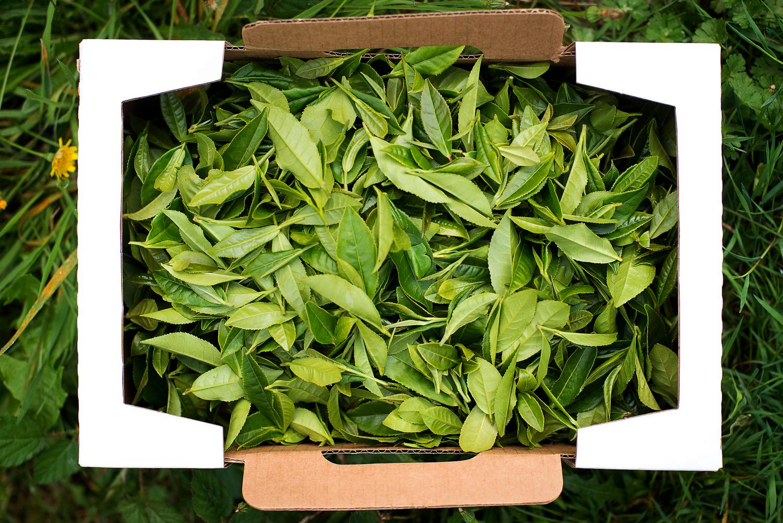 Raw Tea Minto Island Tea Company