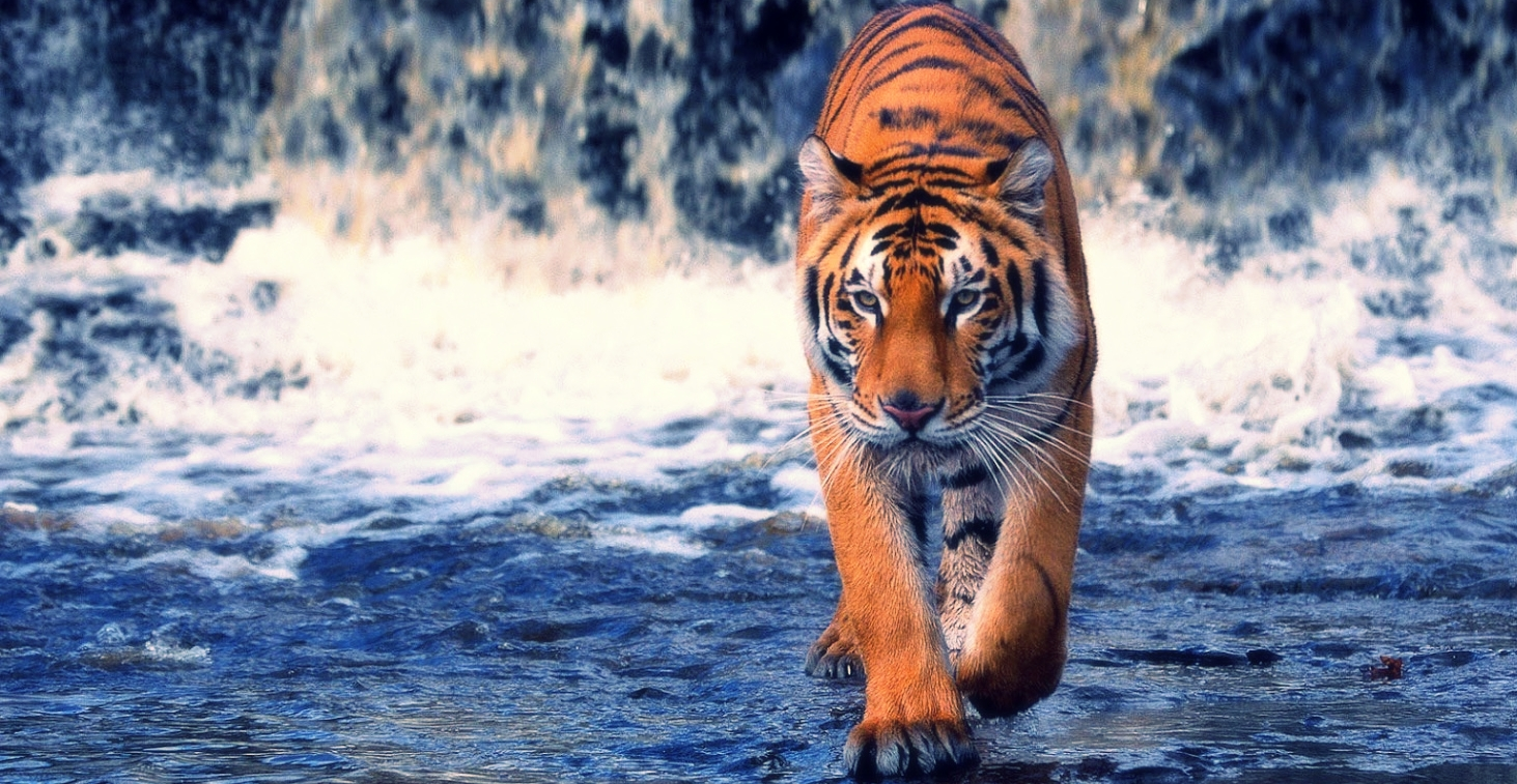 Tiger in Water.jpg