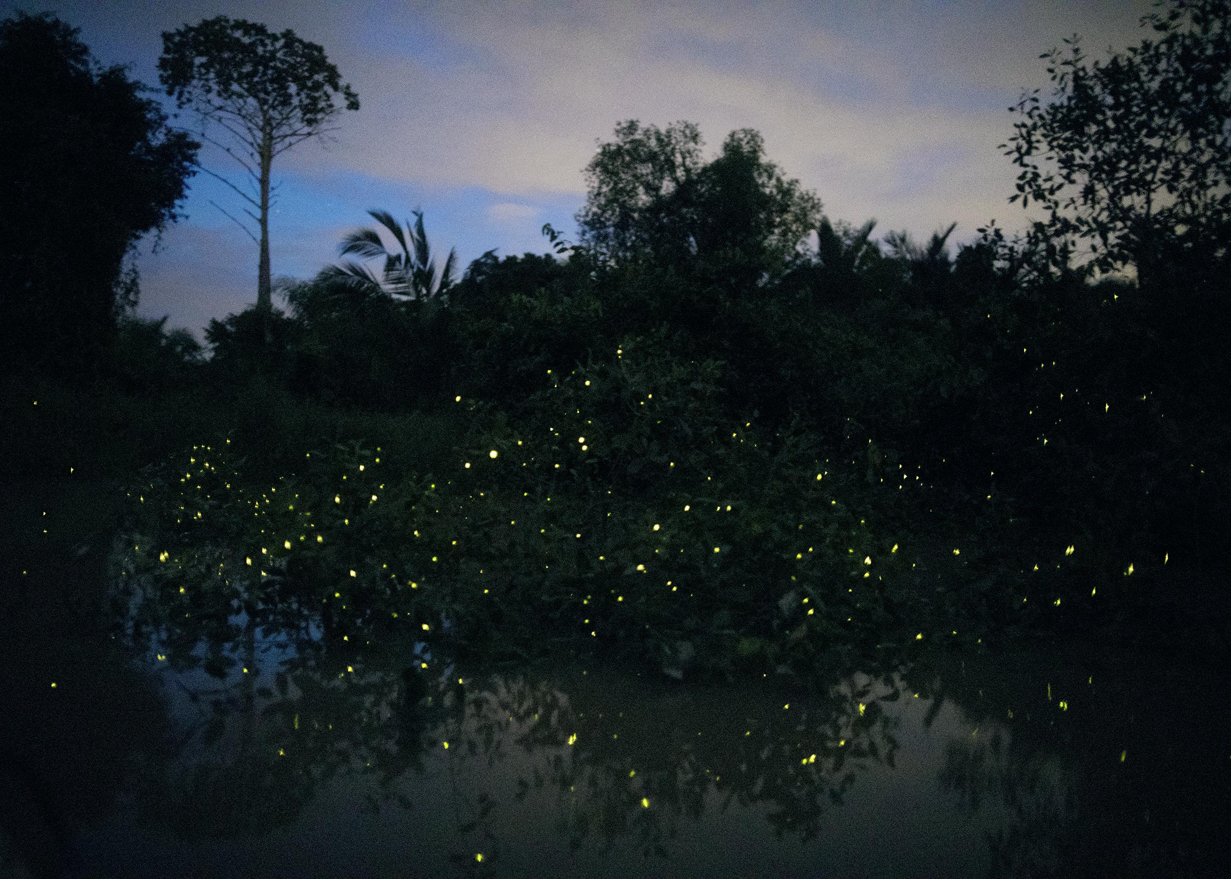 Fireflies, Selangor River, 2017