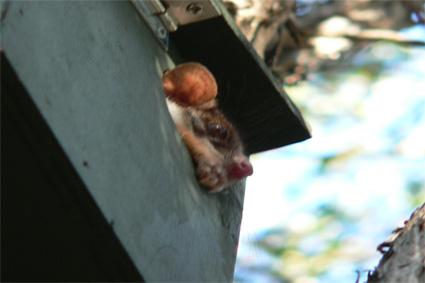 possum-in-nestbox.jpg