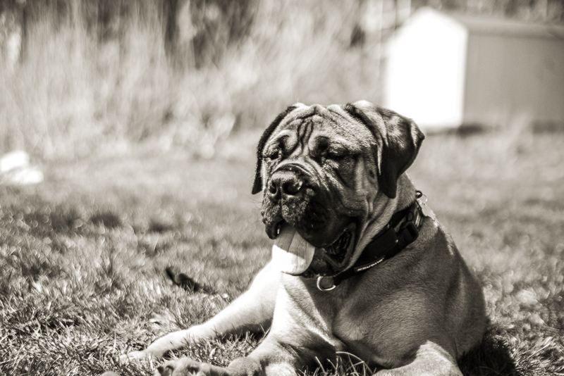 winthrop ma_bull mastiff_ma dogs_revere dogs_ belleisle_revere ma dogs (6 of 12).jpg