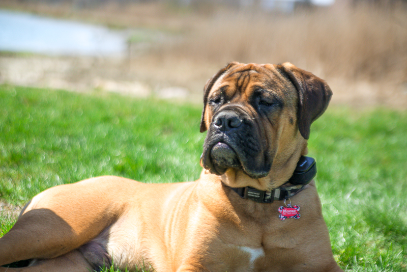 winthrop ma_bull mastiff_ma dogs_revere dogs_ belleisle_revere ma dogs (9 of 12).jpg