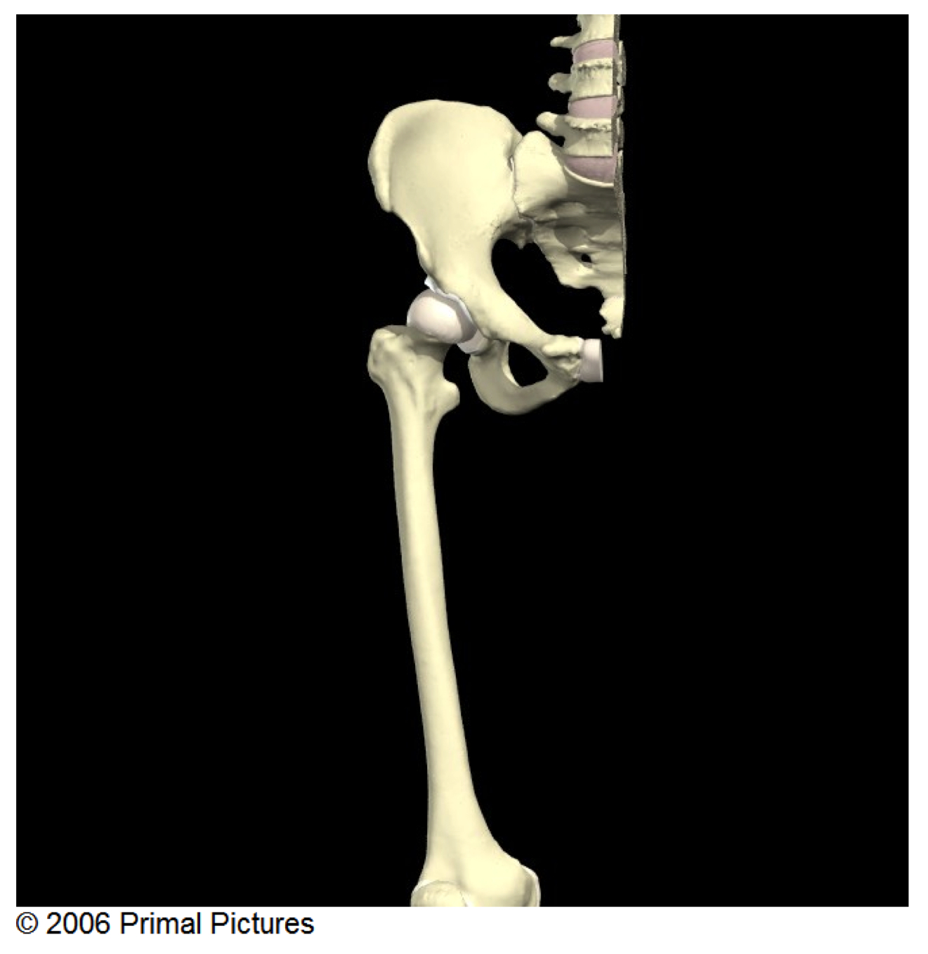 Front view of the right hip joint.
