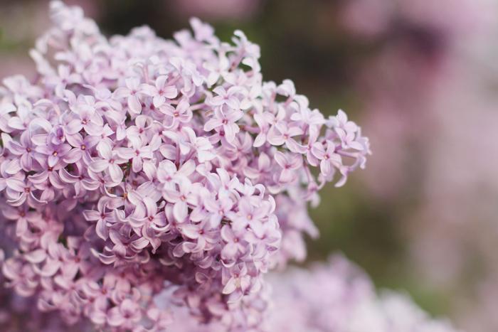 lilac8.jpg