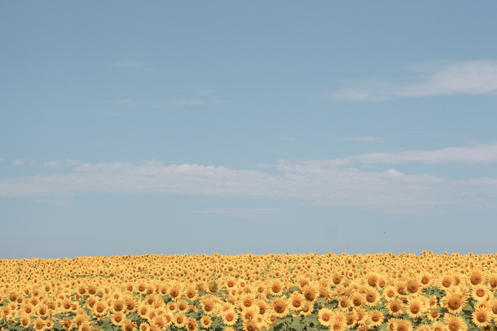 2018sunflowers9.jpg