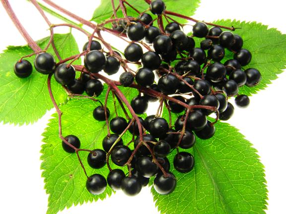 Elderberry/Sambucus nigra