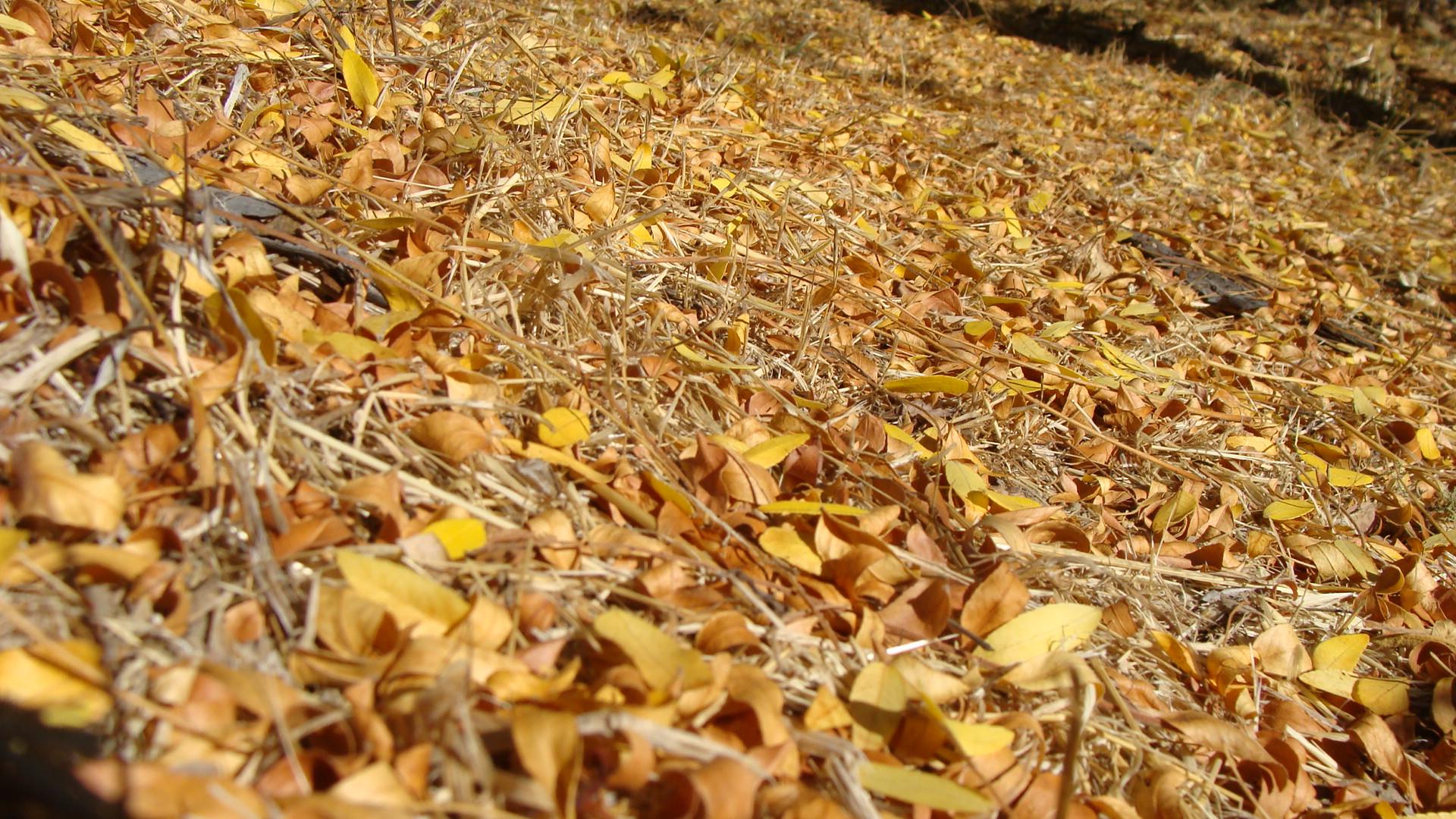 Honey Locust Leaves