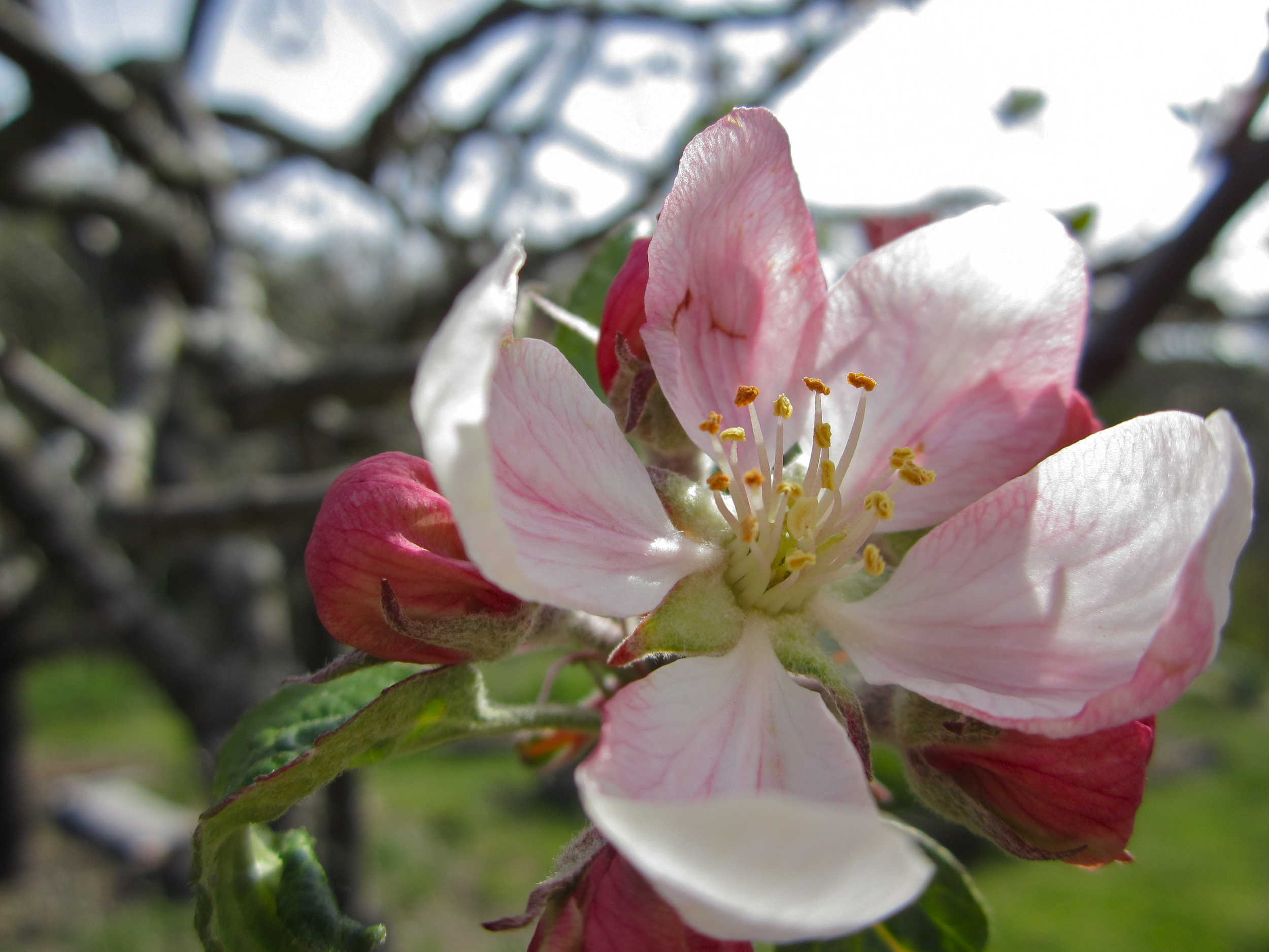 Winesap Blossom