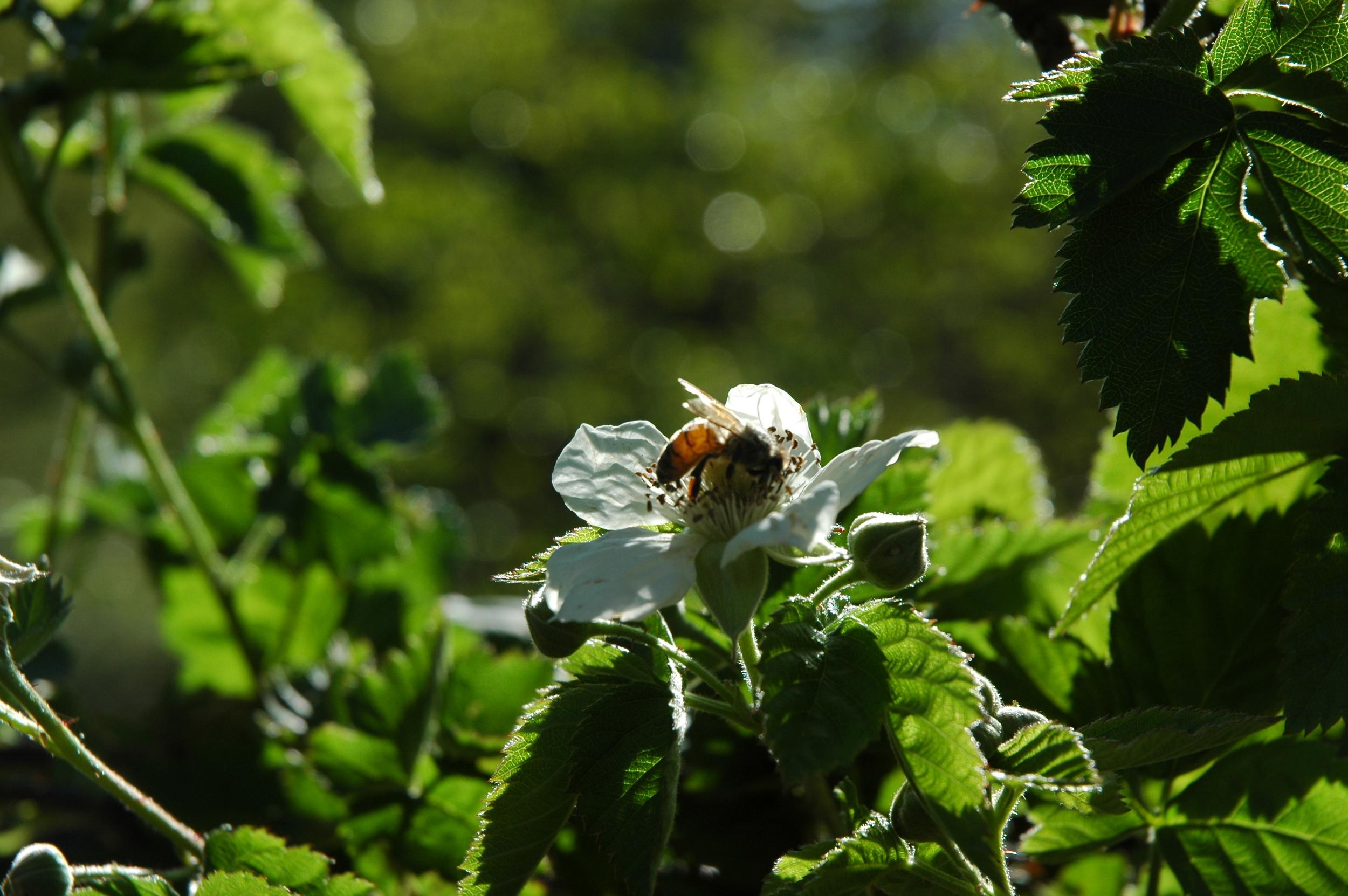 Honeybee on Olallieberry blossom