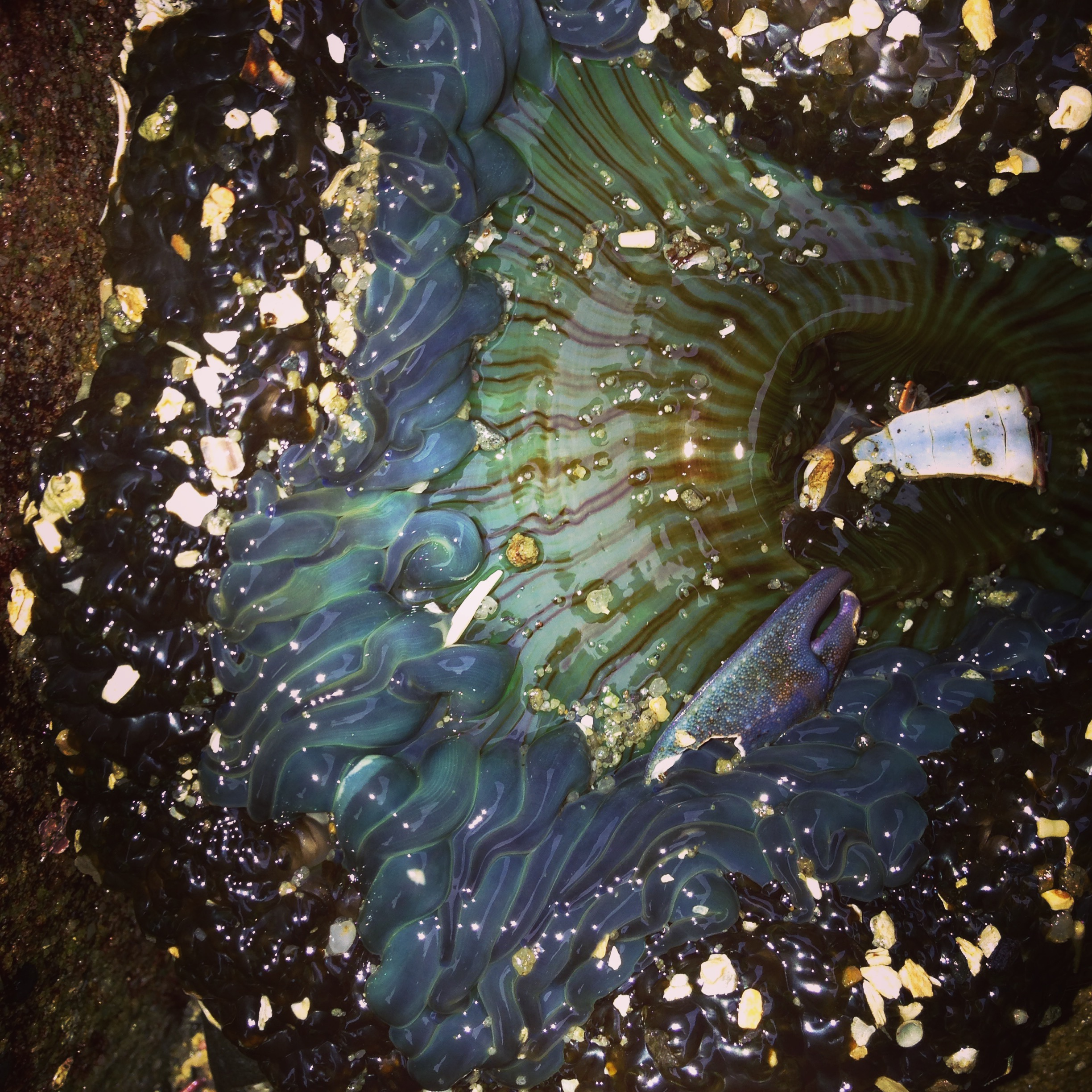 Giant Green Anemone,  Anthopleura xanthogrammica .